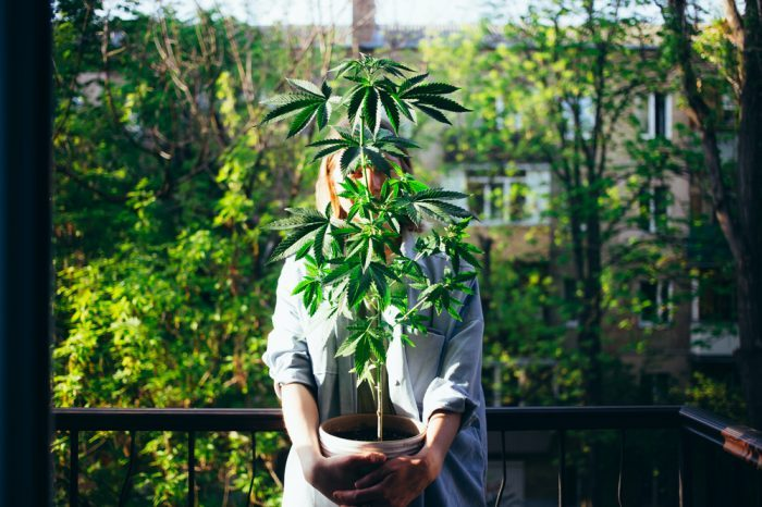Can I Legally Grow Weed at Home? State-by-State Guide Right Here