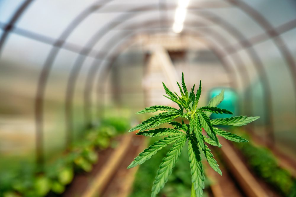 cost of a cannabis grow represented by closeup on plant in a greenhouse