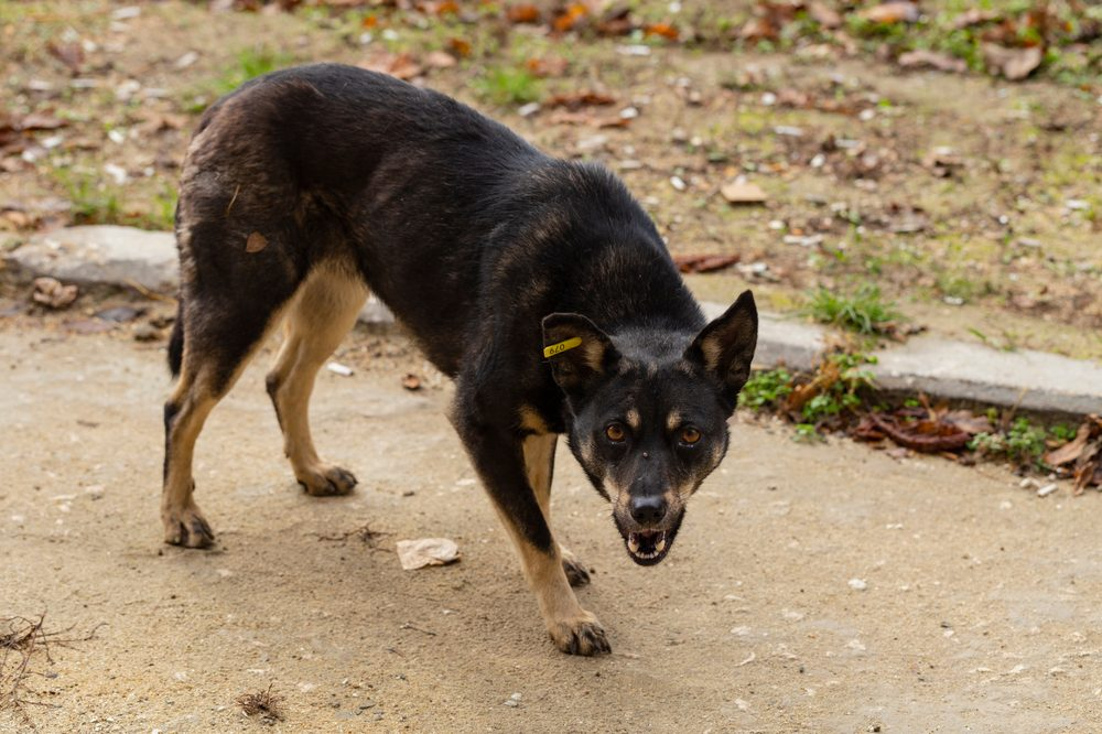 food aggression in dogs represented by aggressive german shepherd