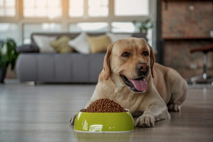 food aggression in dogs represented by happy yellow lab eating