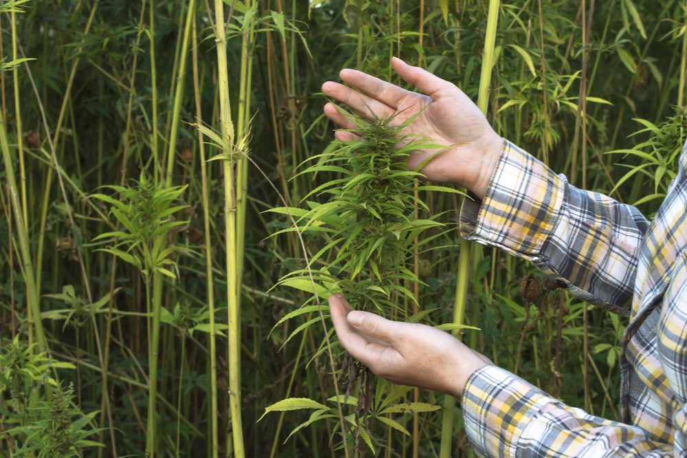 hemp farming represented by farmer pointing to his crops