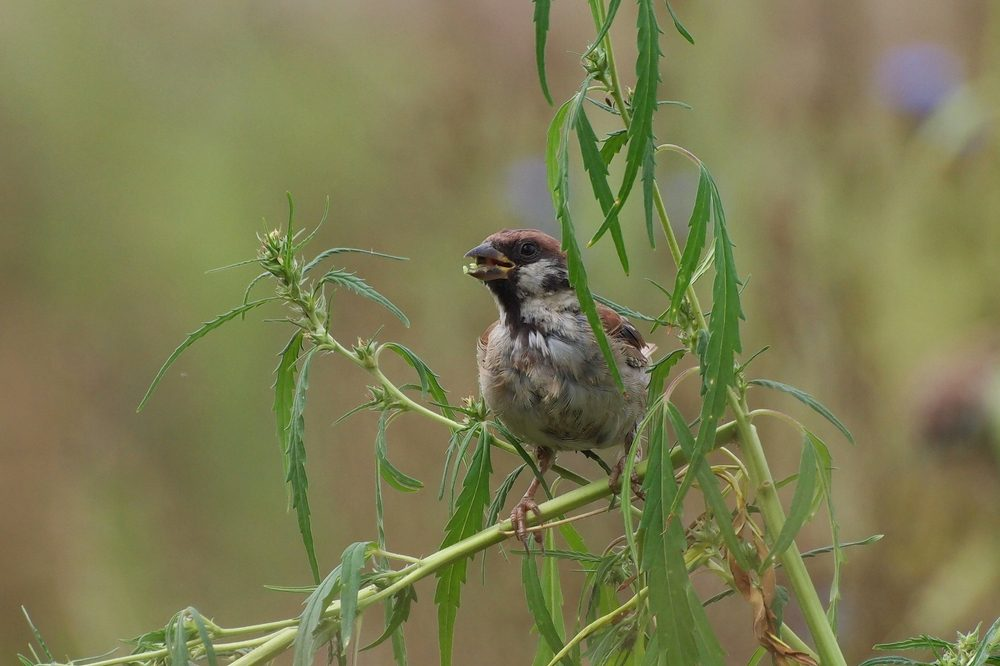how to protect your outdoor grow represented by songbird on hemp plant