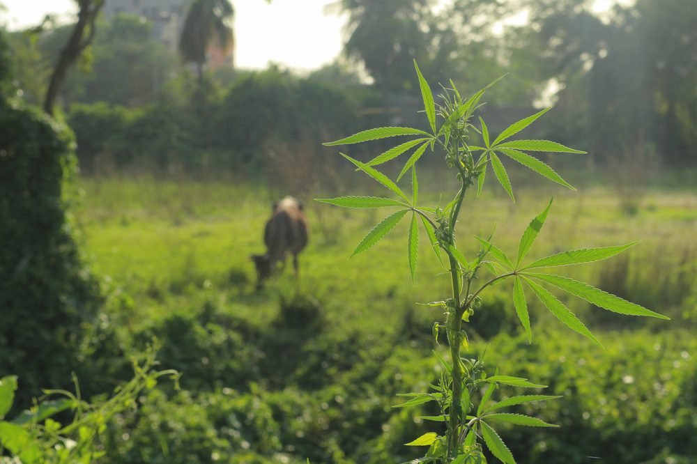 how to protect your outdoor grow represented by deer or cow in hemp field