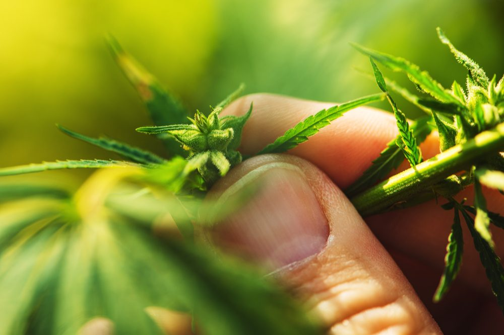 Does Legitimate Research of Cannabis Need a Standardized Dose?