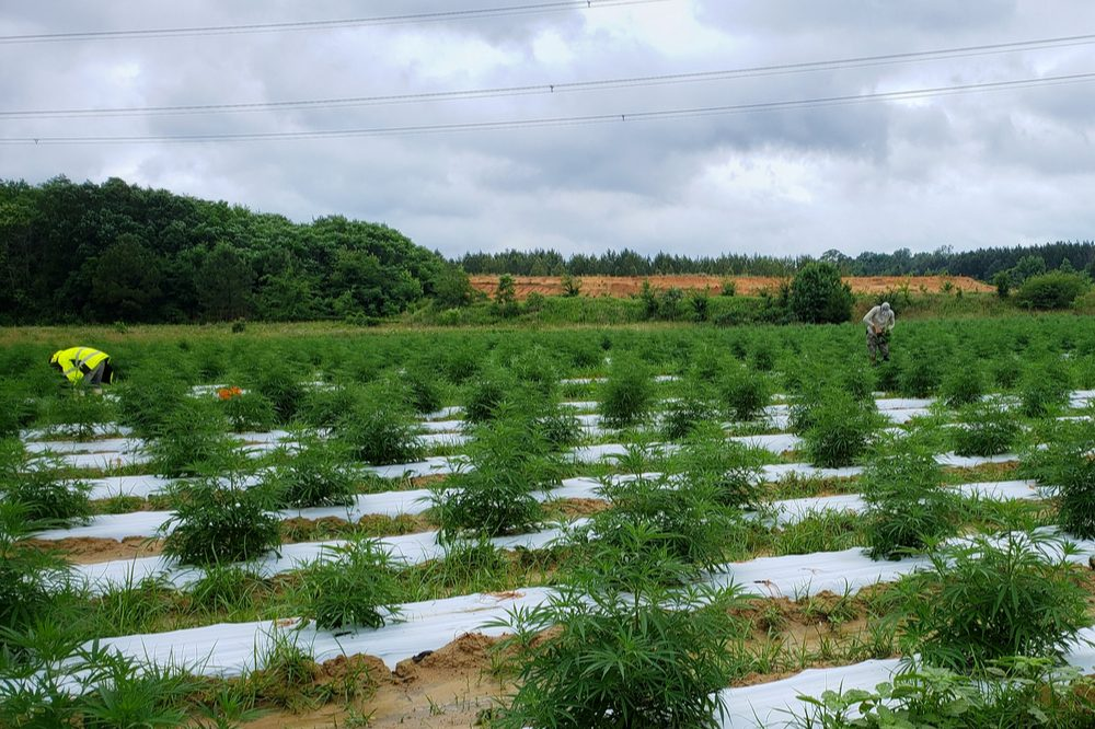 micro grown cannabis represented by small field growing