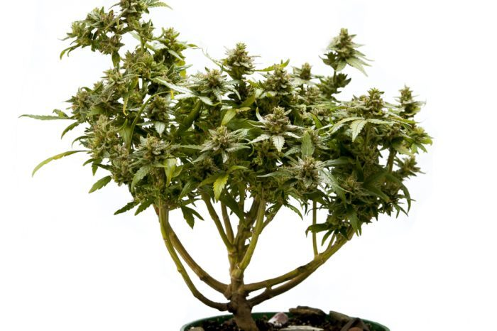 Experience the Peace and Tranquility of the Cannabis Bonsai