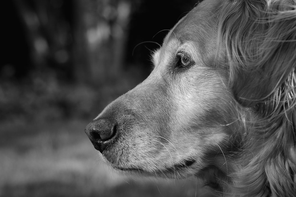 dogs with seizures represented by black and white shot of sad looking dog
