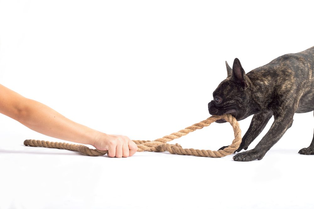 natural pet toys represented by french bull dog pulling rope away from white person's arm