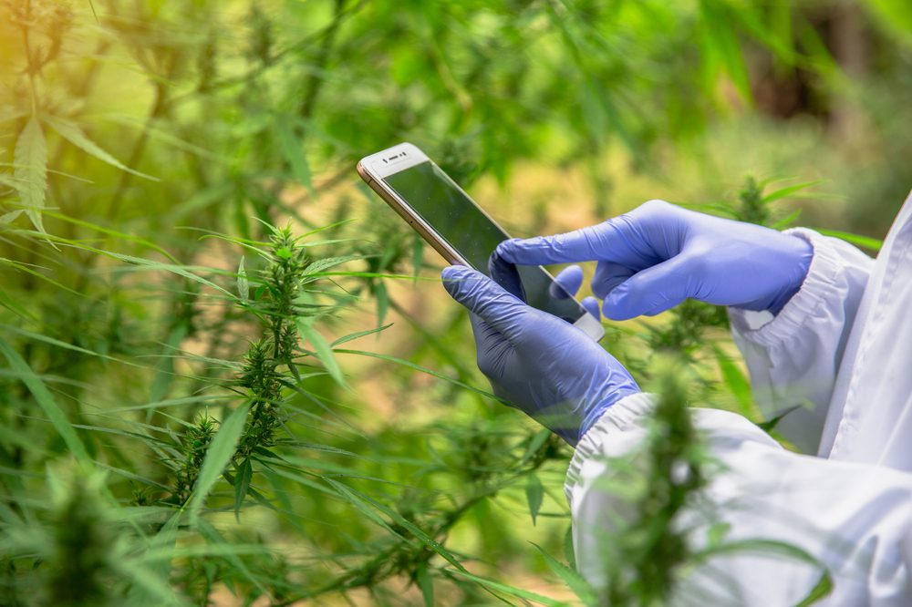 chart thc percentage represented by scientist using phone in cannabis field