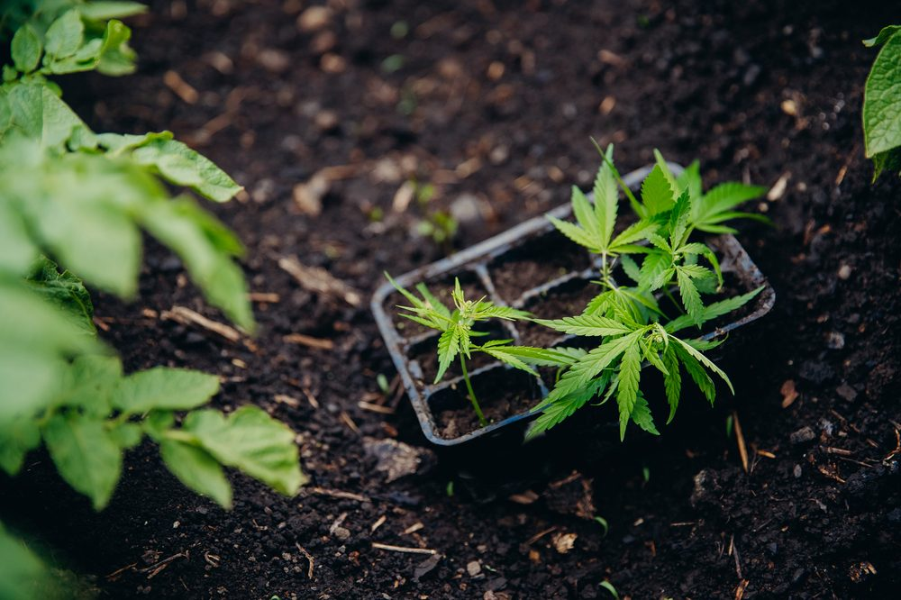 transplanting cannabis represented by cannabis plat in small pot