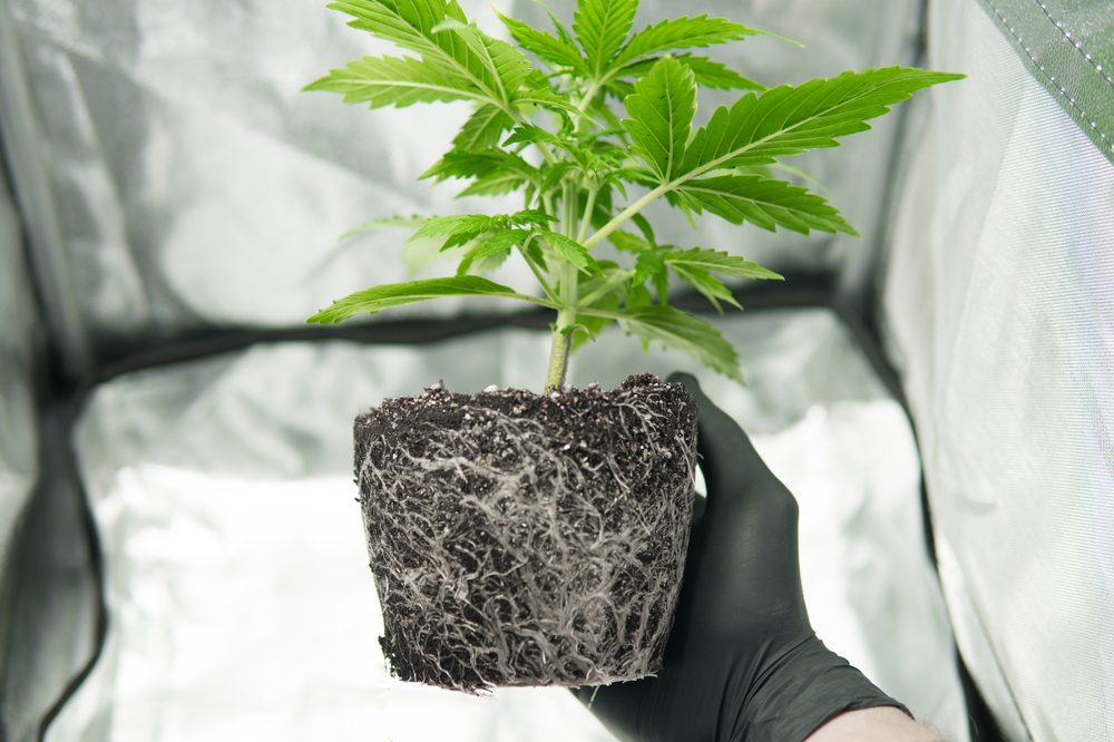 transplanting cannabis represented by person holding up potless cannabis root ball in soil inside home grow tent
