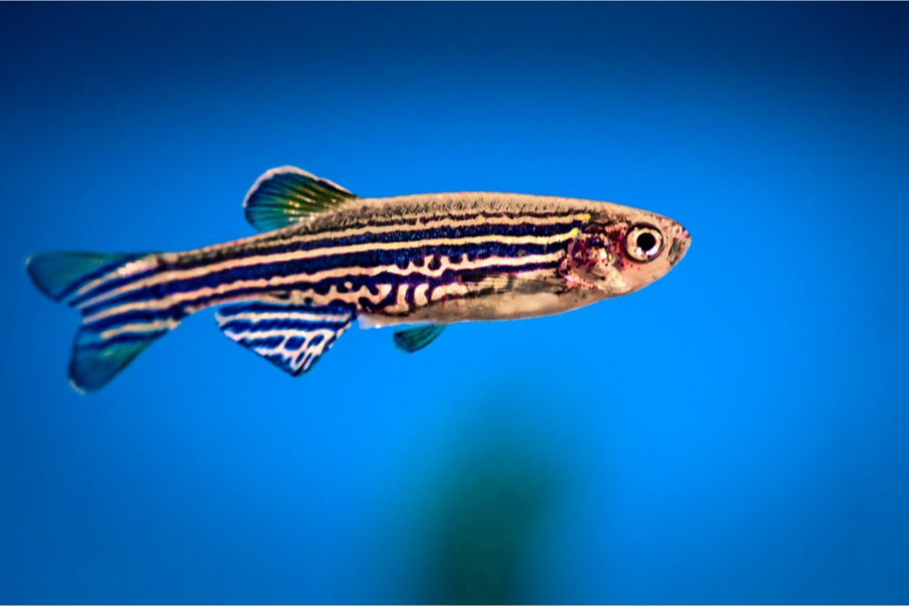 Zebrafish are the Next Frontier for Cannabis Research