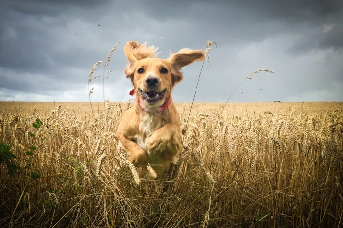 Treating Canine Arthritis: Could CBD Ease Painful Joints?