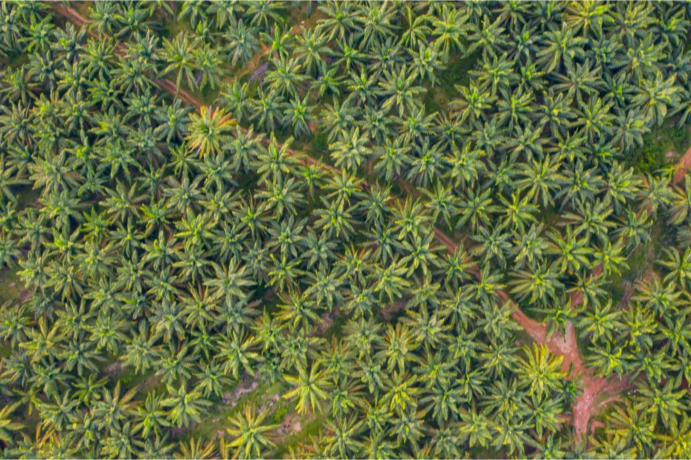 this is not a permaculture garden but monoculture of cannabis aerial view