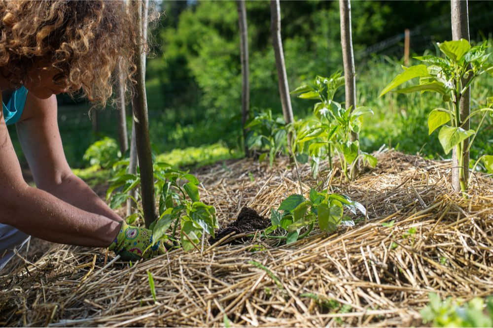 permaculture garden and woman planting seedlings in rich soil