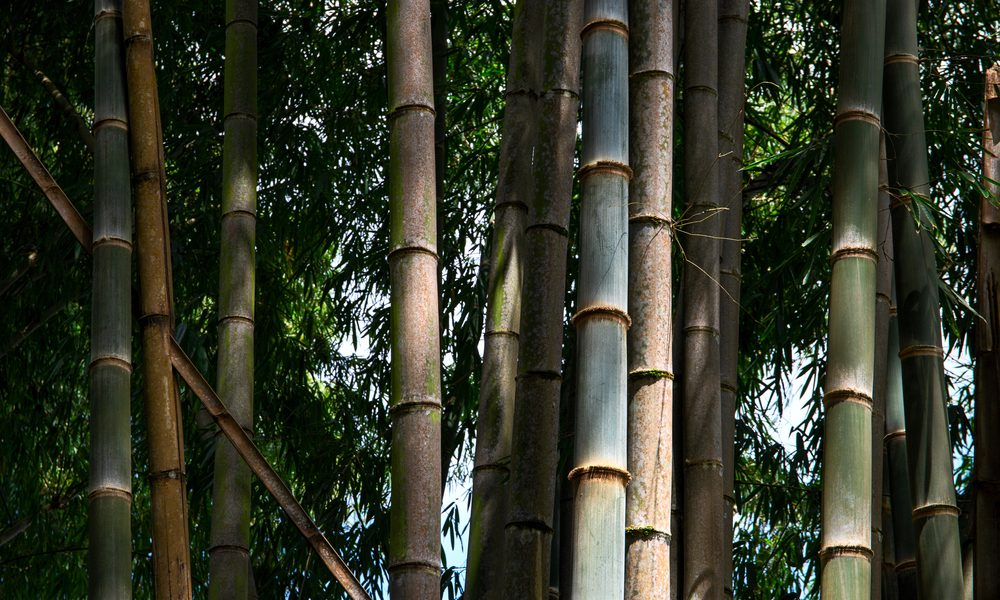 bamboo house represented by bamboo poles growing in forest