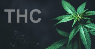 THC in cannabis represented by THC in letters next to cannabis plant