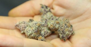 purple weed represented by purple tinged cannabis in white person's hand