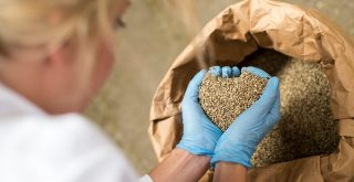 hemp hearts in seed form in gloved hands being removed from hemp sack