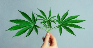 cbg news represented by hand holding cannabis leaves